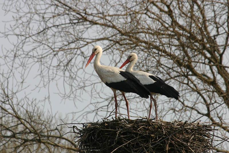 White_Stork,_labanoras.jpg