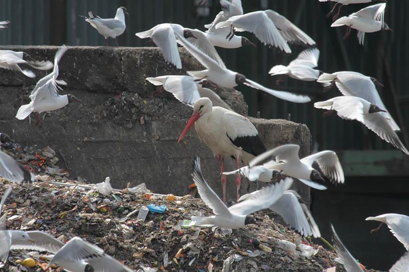 White_Stork_Dump_lt_1.jpg