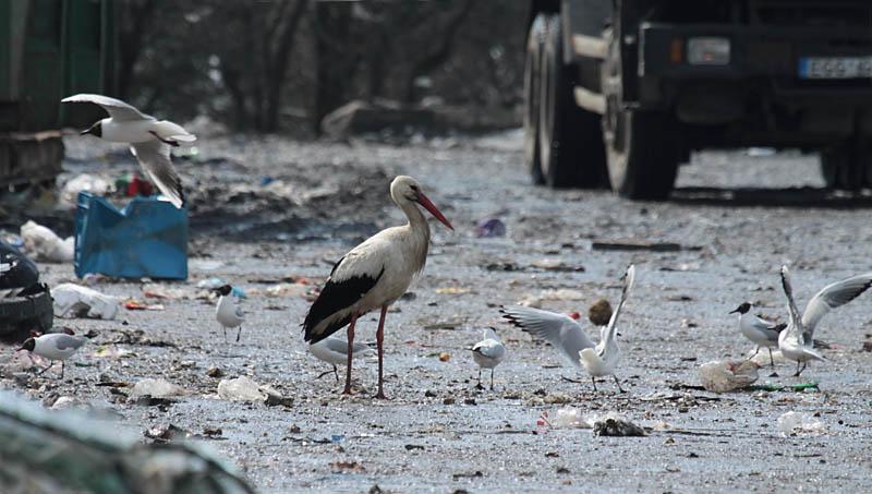 White_Stork_Dump_lt_2.jpg