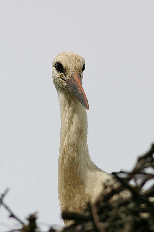 White_Stork_July_lab_1.jpg
