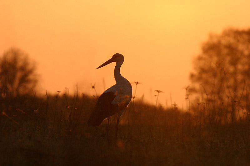 White_Stork_Sunset_lab.jpg