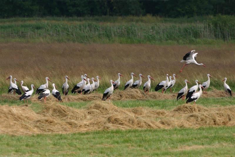 White_Stork_big_flock.jpg