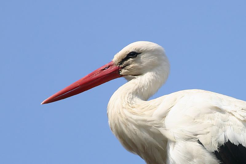 White_Stork_bv_1.jpg