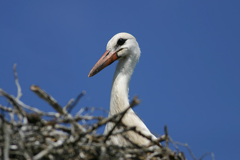 White_Stork_chick_3_August_08_lab.jpg