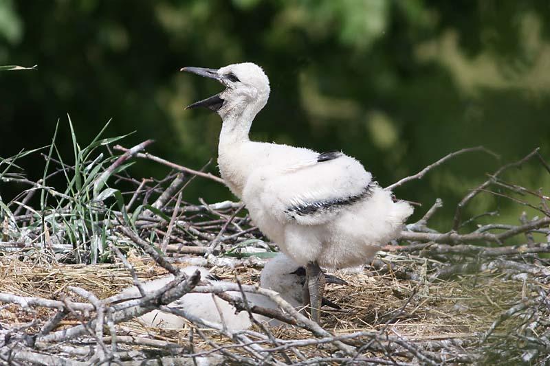 White_Stork_chick_garden_2.jpg