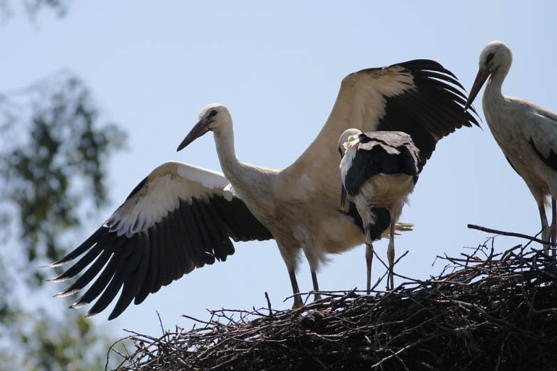 White_Stork_chicks_lab_1.jpg