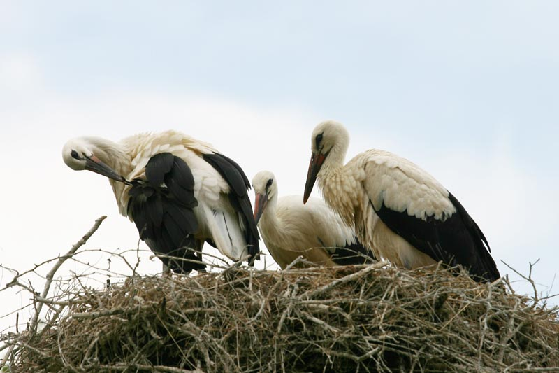 White_Stork_family_thumb.jpg