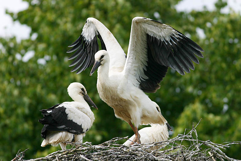 White_Stork_lets_lab_1.jpg