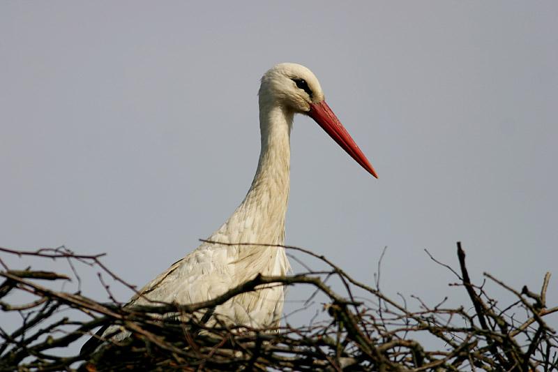 White_Stork_lit_1.jpg