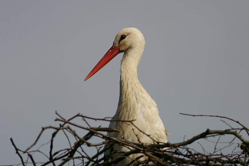 White_Stork_lit_2.jpg