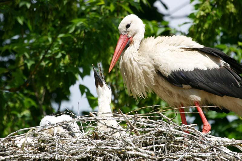 White_Stork_nestlings_thumb2.jpg