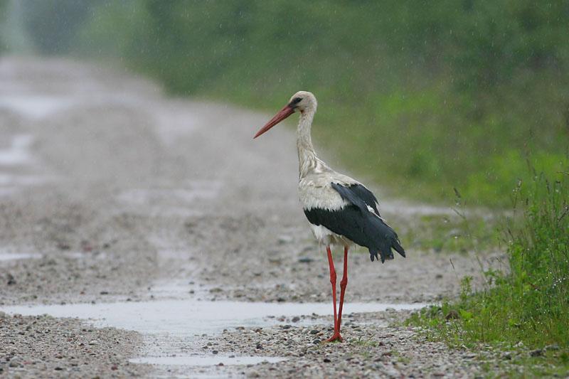 White_Stork_rain_vok.jpg