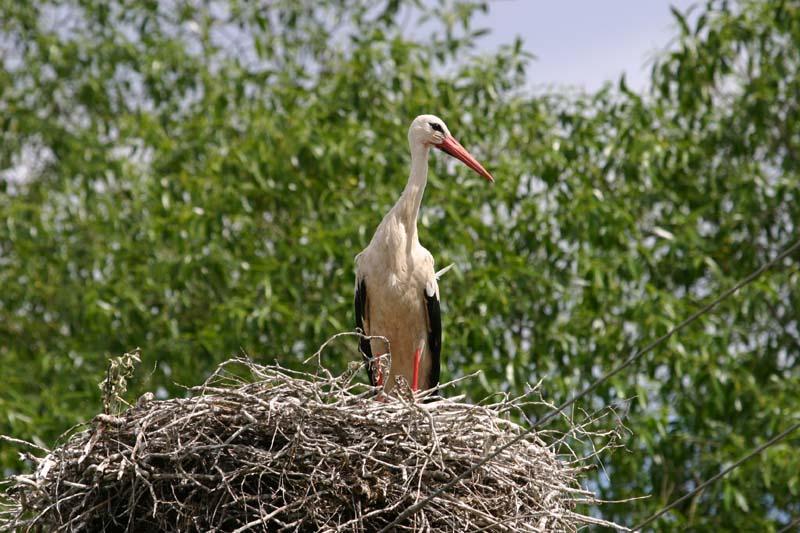 White_Stork_thumb_1.jpg