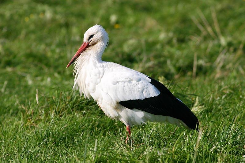 White_Stork_ventes_ragas.jpg