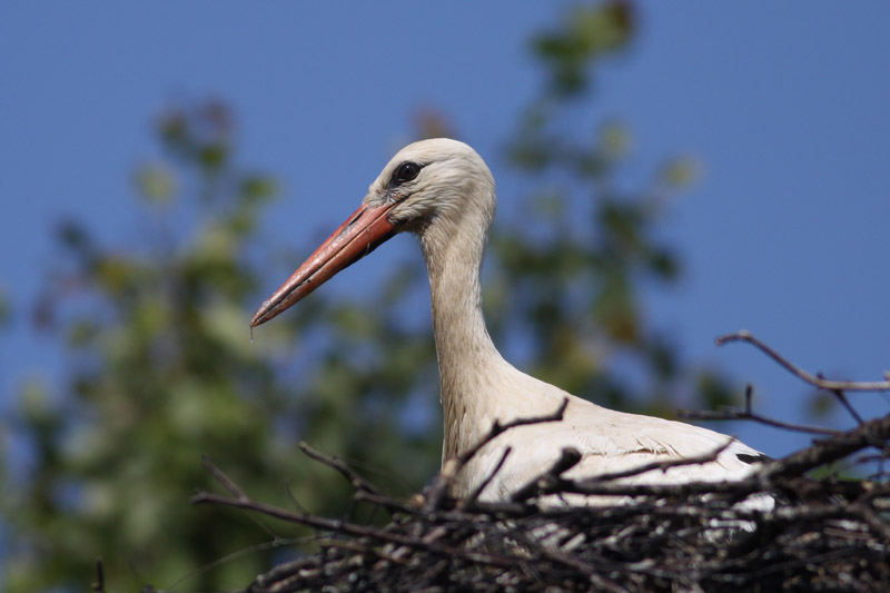 White_Stork_yearling_lab.jpg