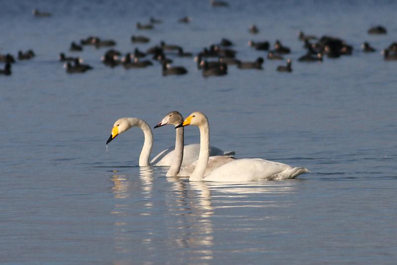 Whooper_Swan_dusia.jpg