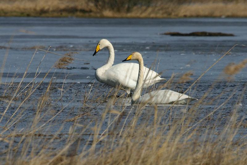 Whooper_Swans,_voke.jpg