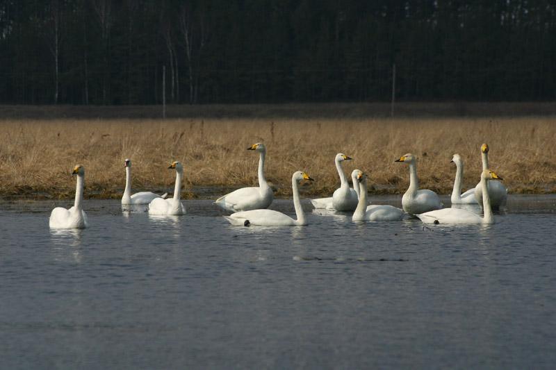 Whooper_and_Bewick's_Swans,_voke.jpg