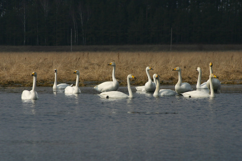 Whooper_and_Bewick_Swans,_voke.jpg