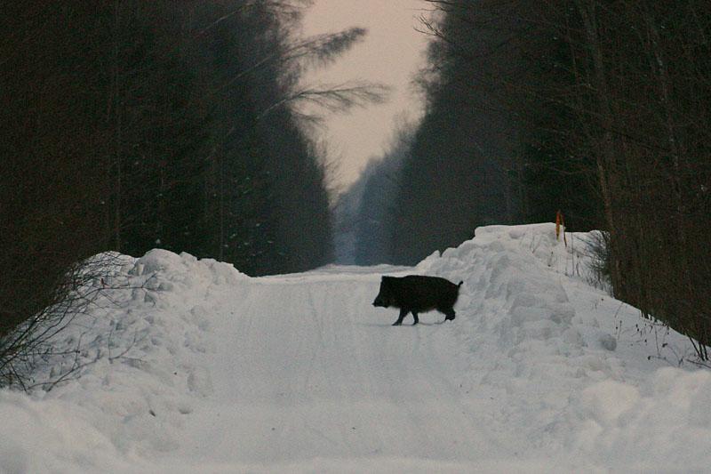 Wild_Boar_lt.jpg