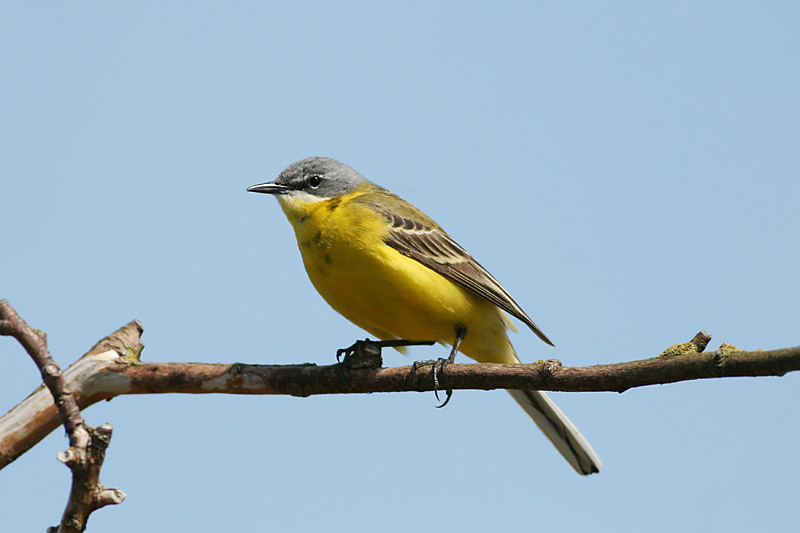 Yellow_Wagtail_male_1.jpg