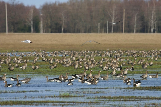 White-fronted & Barnacle Geese
