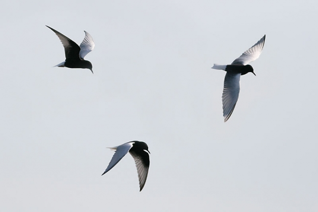 White-winged Black Terns