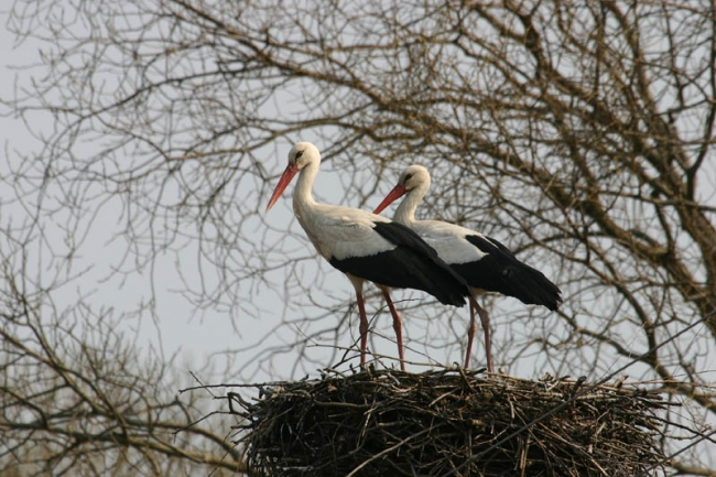 White storks back at Labanoras