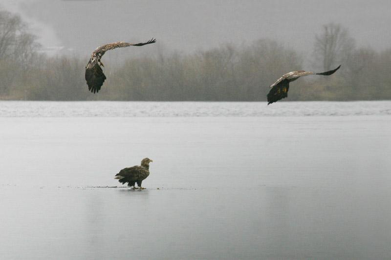 white-tailed_eagles,_voke.jpg