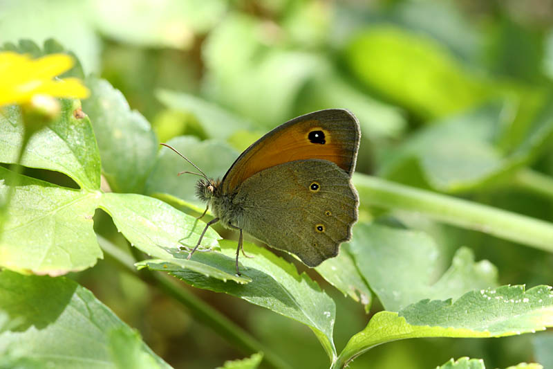 Aegean_Meadow_Brown_ks_2.jpg