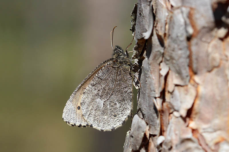 Baltic_Grayling_lt_2.jpg