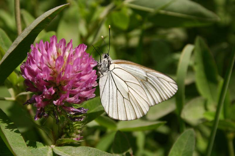 Black-veined White thumb 2.jpg