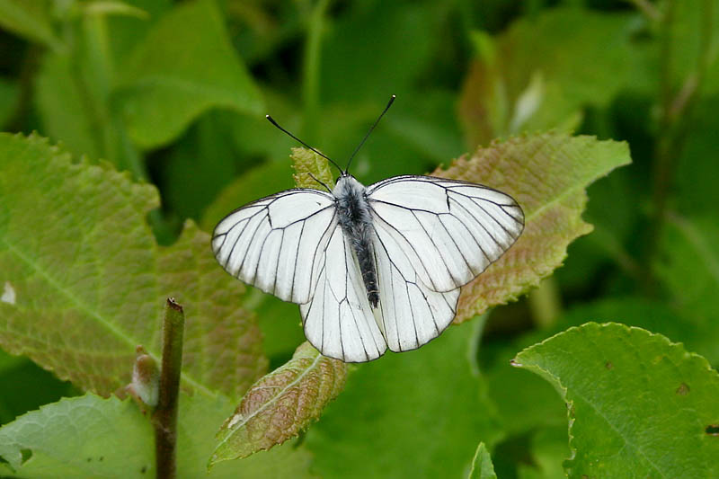 Black-veined_White_lt_2.jpg