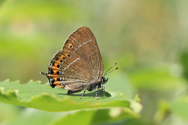 Black_Hairstreak_lt_5.jpg