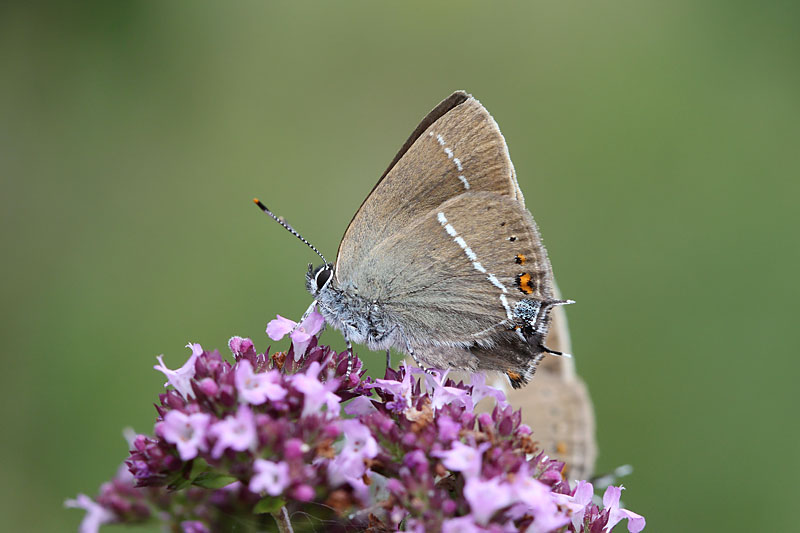 Bluespot_Hairstreak_lt_1.jpg