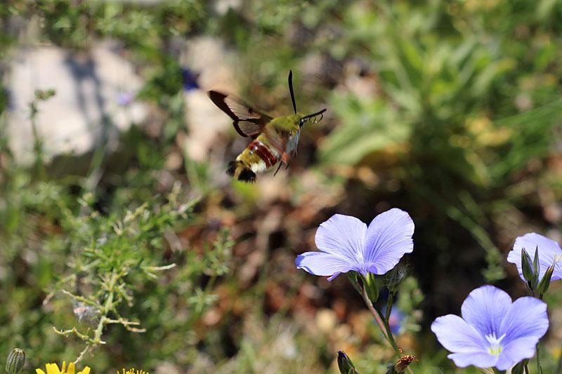 Broad-bordered_Bee_Hawk-moth_sp_1.jpg