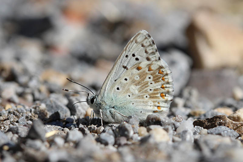 Chalkhill_Blue_male_sp_3.jpg
