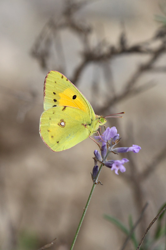 Clouded_Yellow_fr_1.jpg