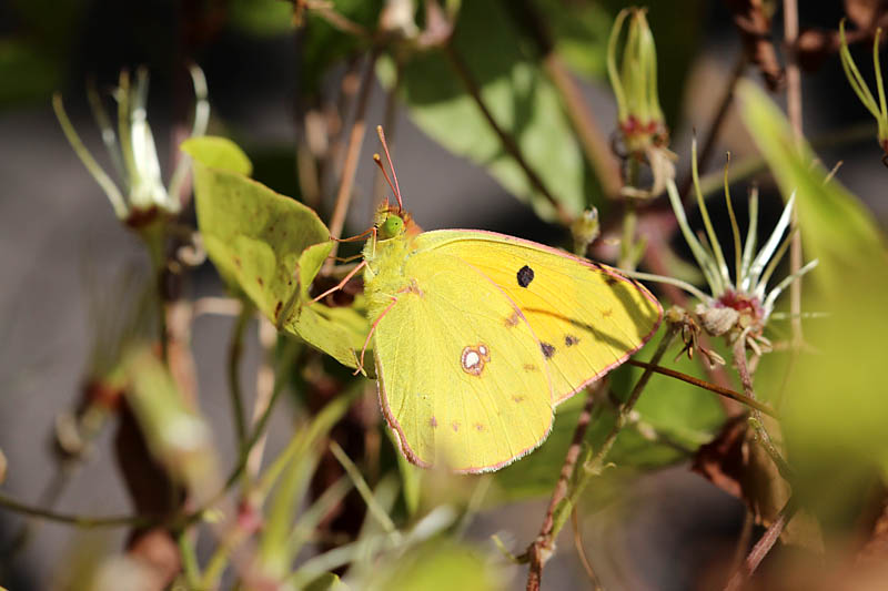 Clouded_Yellow_sp_2.jpg