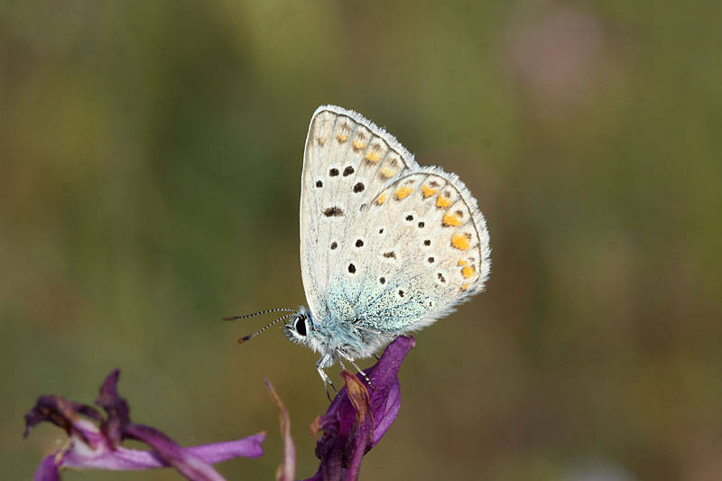 Common_Blue_ks_1.jpg