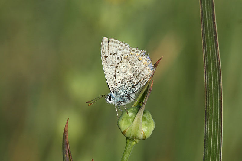 Common_Blue_ks_2.jpg