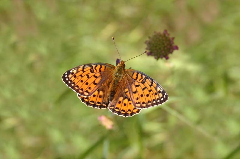 Dark_Green_Fritillary_thumb_1.jpg