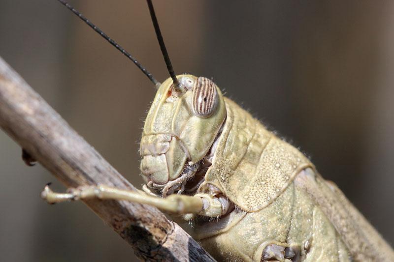 Egyptian_Locust_sp_2.jpg