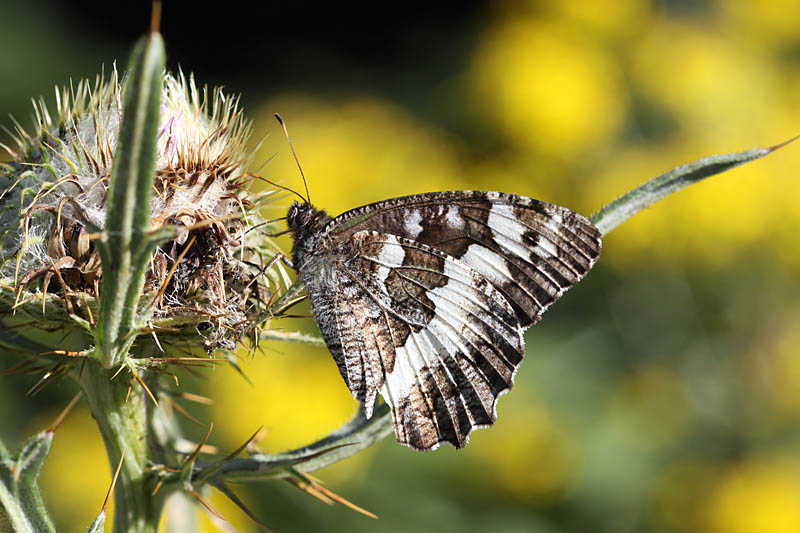Great_Banded_Grayling_fr_1.jpg