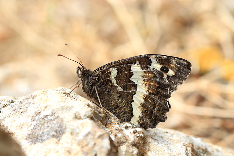 Great_Banded_Grayling_gr_2.jpg