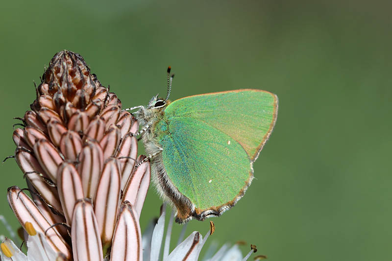 Green_Hairstreak_it_1.jpg
