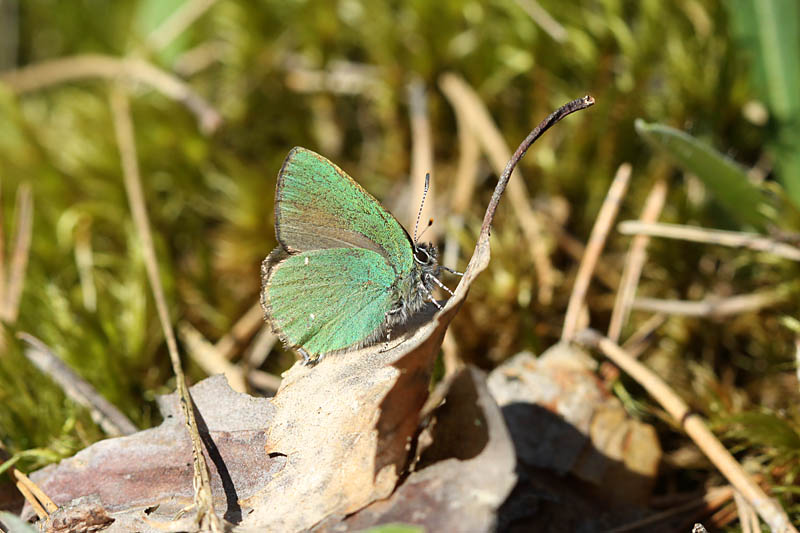 Green_Hairstreak_lab_2.jpg