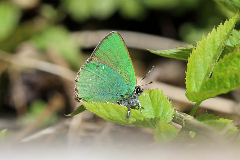 Green_Hairstreak_lt_2.jpg