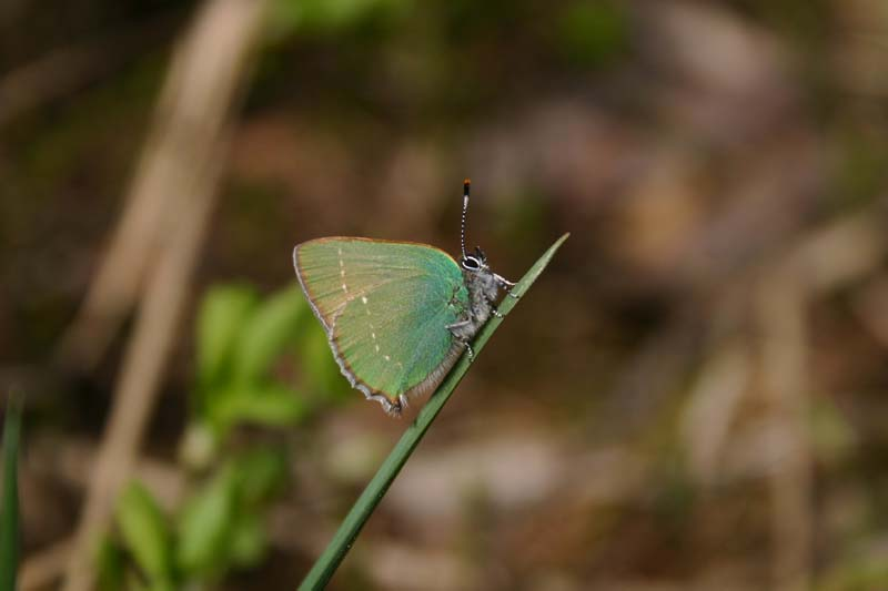 Green_Hairstreak_thumb_1.jpg