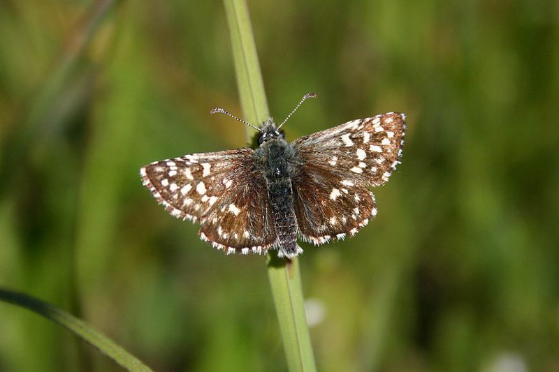 Grizzled_Skipper_east.jpg